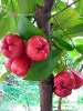 ROSE APPLE 1